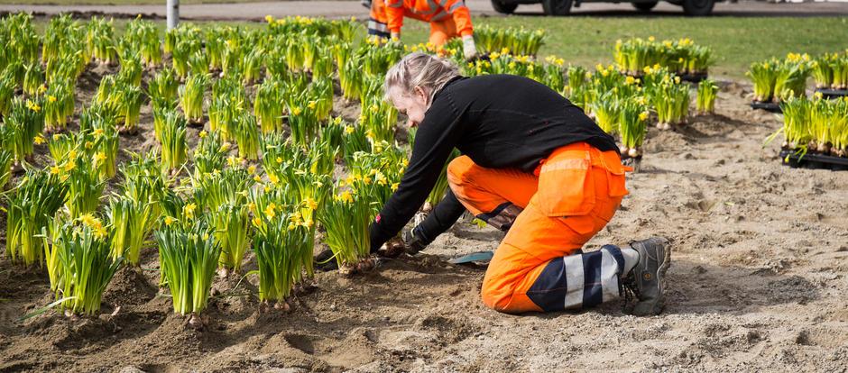Bilde av en mann og kvinne i arbeidsklær som planter mange påskeliljer på geledd i et stort bed.