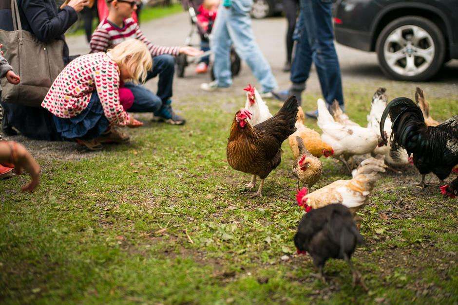 Høner i Geitemyra skolehager (foto: Svein Gunnar Kjøde)