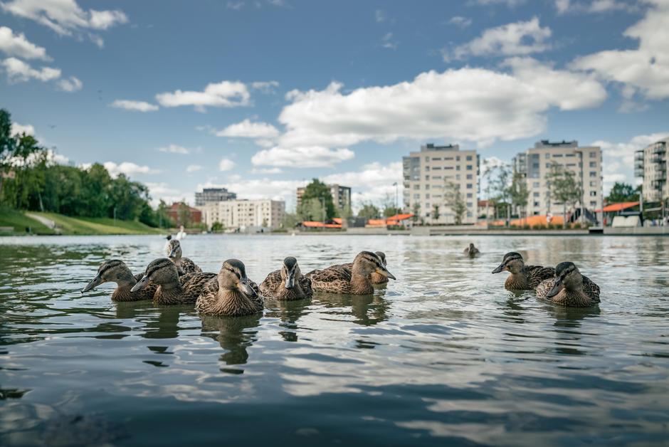 Ender svømmer i dammen foran Ensjøbyen.
