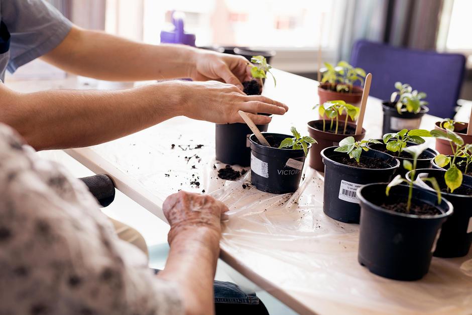 Spirene prikles om på kjøkkenet. Hver enkelt frøplante plantes over i egne potter