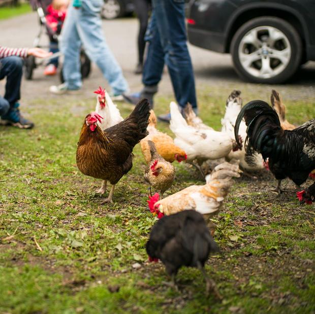 Høner på Geitmyra skolehager