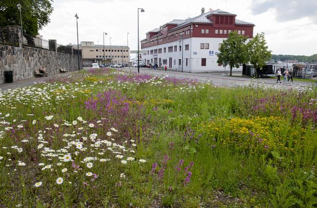 Bilde av engvekster på Akershusstranda.